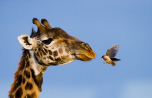 Girafe - CNV
